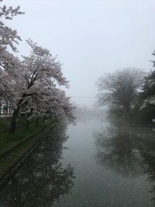 最上公園にて朝霧の中の桜