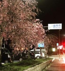 道の駅にしねの横には夜桜が満開。