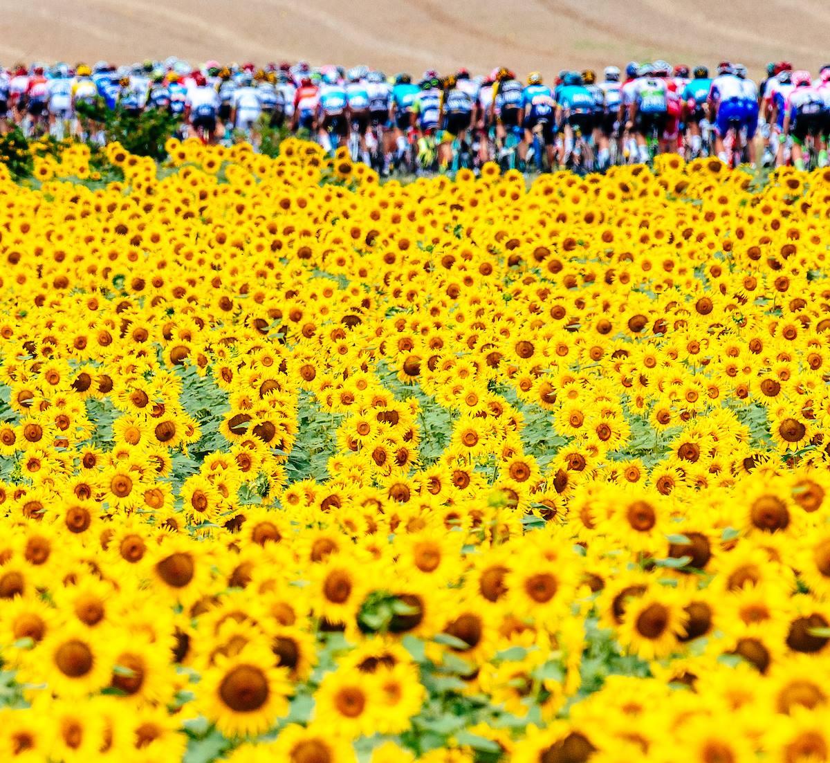 第16ステージ、ひまわり畑の中を走る集団 2018 ツールドフランス