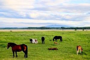 濤沸湖と国道の牧草地帯で放牧されている馬の群れ。photo:神楽坂つむり
